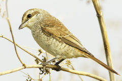Red-backed Shrike (Lanius collurio) on branch, female Stock Image