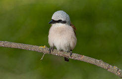 Red-backed shrike (Lanius collurio) Stock Photo
