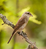 Red-backed shrike (Lanius collurio) Royalty Free Stock Photography