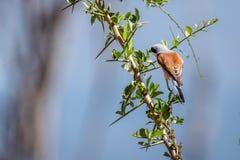 Red-backed shrike, Lanius collurio Stock Photos