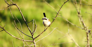 Red-backed shrike -Lanius collurio Royalty Free Stock Photography