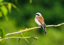 Red-backed Shrike Lanius Collurio In The Sunlight On The Green Background Royalty Free Stock Photography