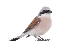 Red-backed Shrike Lanius collurio Stock Images
