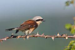 Red-backed Shrike - Lanius collurio male sitting on the thorny and spiny branch with green background. Europe.  Royalty Free Stock Photography