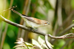 The red-backed shrike (Lanius collurio) Stock Photography