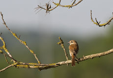 Red-backed Shrike (Lanius collurio) Royalty Free Stock Photos