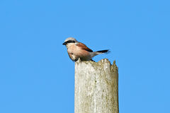 Red-backed shrike (Lanius collurio) Stock Photos