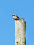 Red-backed shrike (Lanius collurio) Royalty Free Stock Image