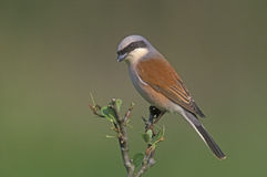 Red-backed shrike, Lanius collurio Royalty Free Stock Image