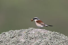 Red-backed shrike, Lanius collurio Royalty Free Stock Images