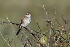 Red-backed shrike, Lanius collurio Royalty Free Stock Photos