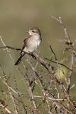 Red-backed shrike, Lanius collurio Royalty Free Stock Photo