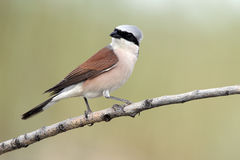 Red-backed shrike, Lanius collurio Stock Photography