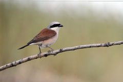 Red-backed shrike, Lanius collurio Stock Photos