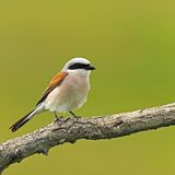 Red backed Shrike Stock Image