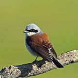 Red backed Shrike look in morning light Royalty Free Stock Photos