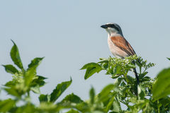 Red-backed-shrike Royalty Free Stock Photos
