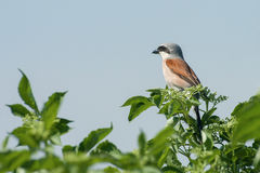 Red-backed-shrike Stock Image