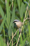 Red-backed Shrike Stock Image