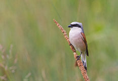 Red-backed Shrike Stock Photos