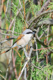 Red-backed shrike (male) Stock Photo