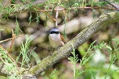 Red-backed shrike (male) Royalty Free Stock Images