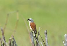Red backed Shrike in nature. Stock Images