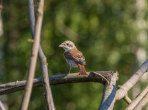 Red-backed Shrike nestling is sitting on a dry branch of a fallen tree Royalty Free Stock Photo