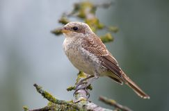 Red-backed shrike perched on a lichen branch of dead tree stock photo