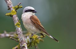 Red-backed Shrike sits on a lichen stick. Red-backed Shrike perched on a lichen branch stock photography