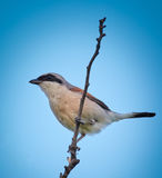 Red backed shrike. Perched on a twig against blue sky Royalty Free Stock Photography