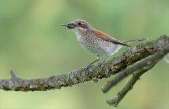 Red-backed shrike perched with victim asilidae fly in the beak royalty free stock photo
