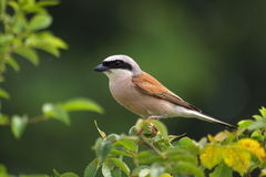 Red-backed Shrike, predator, lanius colluri Royalty Free Stock Images