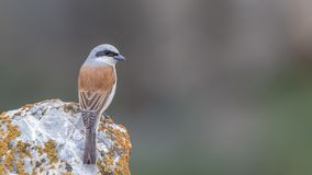 Red-backed Shrike on Rock. Male red-backed shrike, Lanius collurio,  is perching on  rock with green background Stock Photos