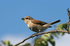 Red-backed shrike sitting on a branch Stock Images