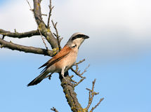 Red-backed shrike sitting on a branch. Bird (red-backed shrike) sitting on a branch Royalty Free Stock Photos