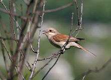 Red-backed shrike sitting on a branch. Bird (red-backed shrike) sitting on a branch Stock Photo
