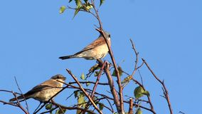 Red-backed shrike stock video