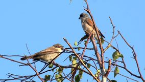 Red-backed shrike stock video footage