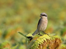 Red backed Shrike on sunflower Stock Photo