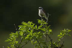 Red backed shrike on the top of a branch, Vosges, France Royalty Free Stock Photography