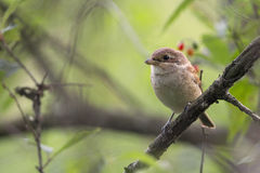 Red-backed Shrike in the wild. Royalty Free Stock Image