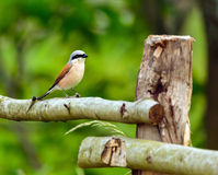 Red backed shrike Stock Photos