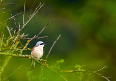 Red backed shrike Royalty Free Stock Image