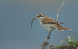 Red-backed shrike (Lanius collurio) eating a Common Lizard. Royalty Free Stock Images
