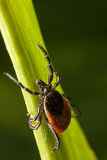 Red backed tick on green leaf. A close-up photo of a tick with red back on plants stalk waiting for victim Royalty Free Stock Images