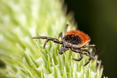 Red backed tick on green plant Royalty Free Stock Photography