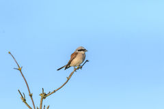 Red-backet shrike is sitting on the brach Royalty Free Stock Photos
