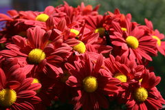Red backgound. Beautiful Red chrysanthemum flowers in close up view Royalty Free Stock Photos
