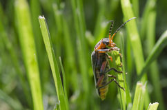 Red and balck beetle on grass. Background Royalty Free Stock Image